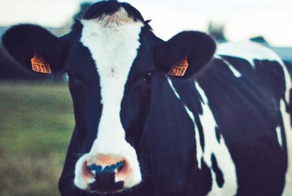Deel een koe